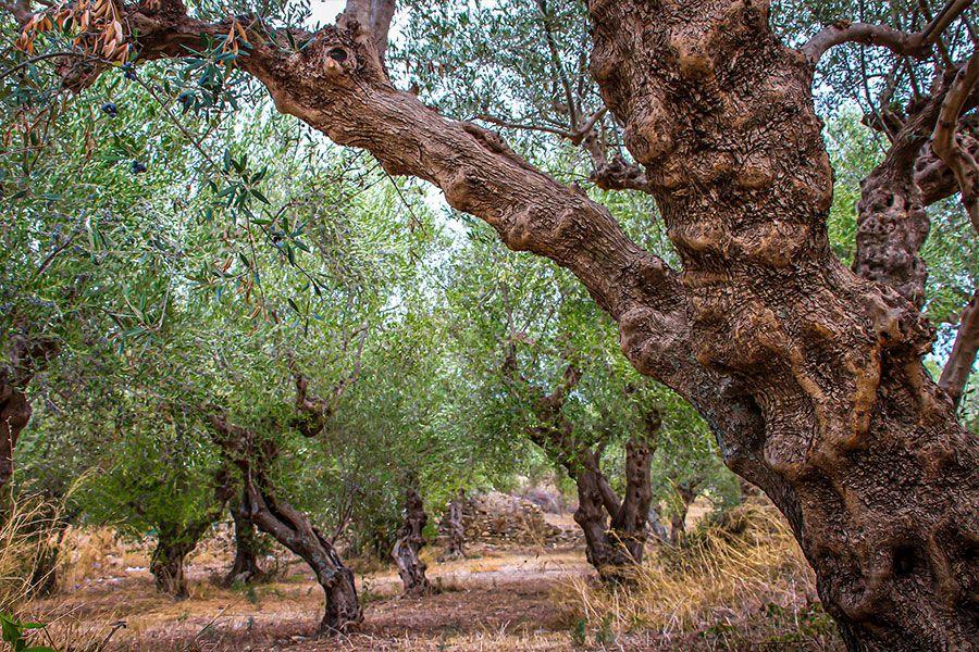 Ölmez ağaç olarak da anılan zeytin ağacı 4000 yıl yaşayabilir.